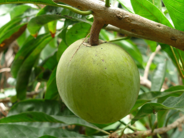 Lêkima   Pouteria lucuma (Ruiz & Pav.) Kuntze